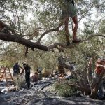 Join the 2016 Olive Harvest
